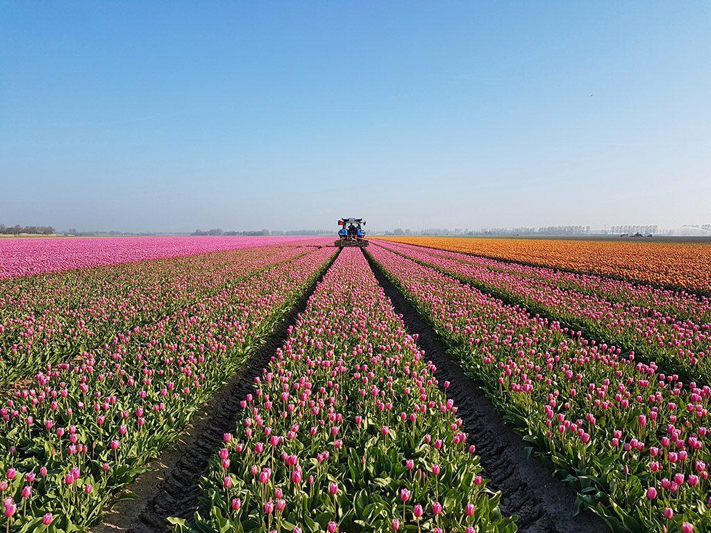 Prachtige gekleurde tulpenvelden op Goeree-Overflakkee