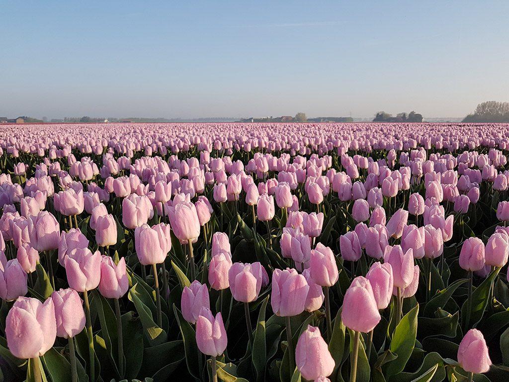 Roze tulpen langs de Tulpenroute op Goeree-Overflakkee