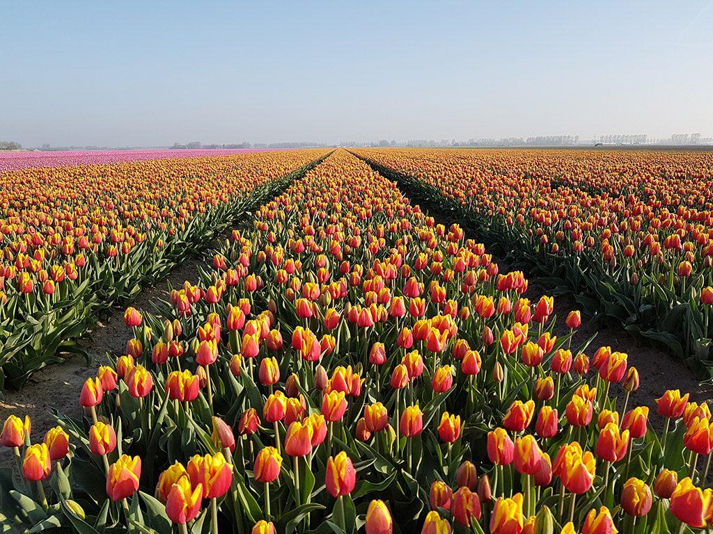 Geel met Oranje tulpen bij Nieuwe-Tonge op Goeree-Overflakkee
