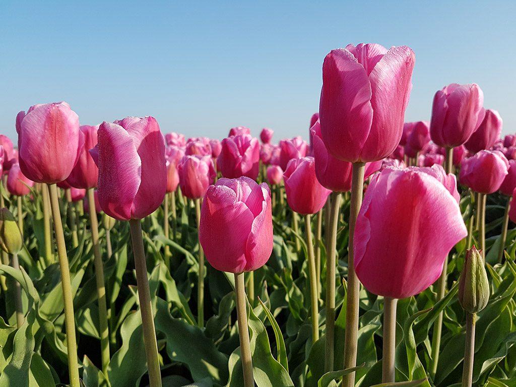 Roze tulpen bij Nieuwe-Tonge op Goeree-Overflakkee