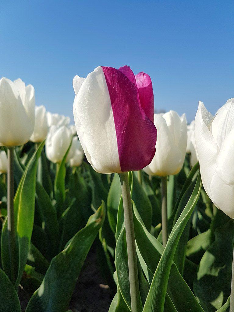 Tweekleurige tulp bij Nieuwe-Tonge op Goeree-Overflakkee