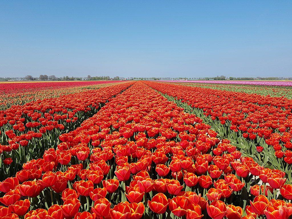 Prachtige tulpenvelden bij Dirksland op Goeree-Overflakkee