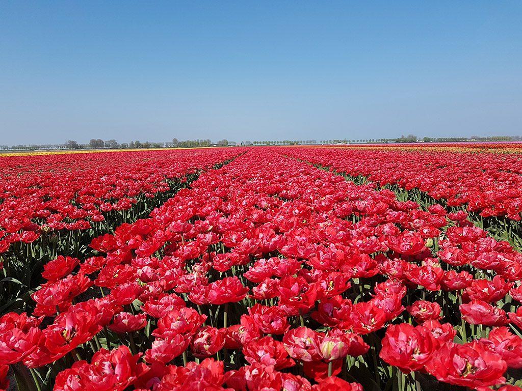 Een veld vol rode bloemen bij Dirksland op Goeree-Overflakkee