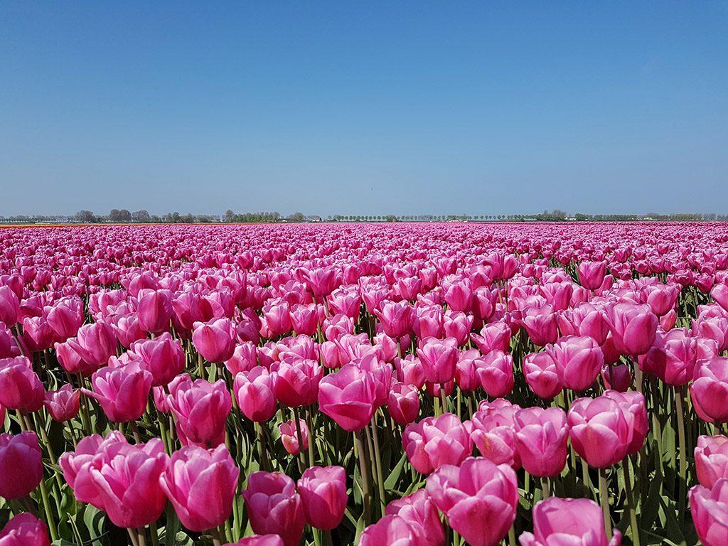 Mooie roze tulpen bij Dirksland op Goeree-Overflakkee