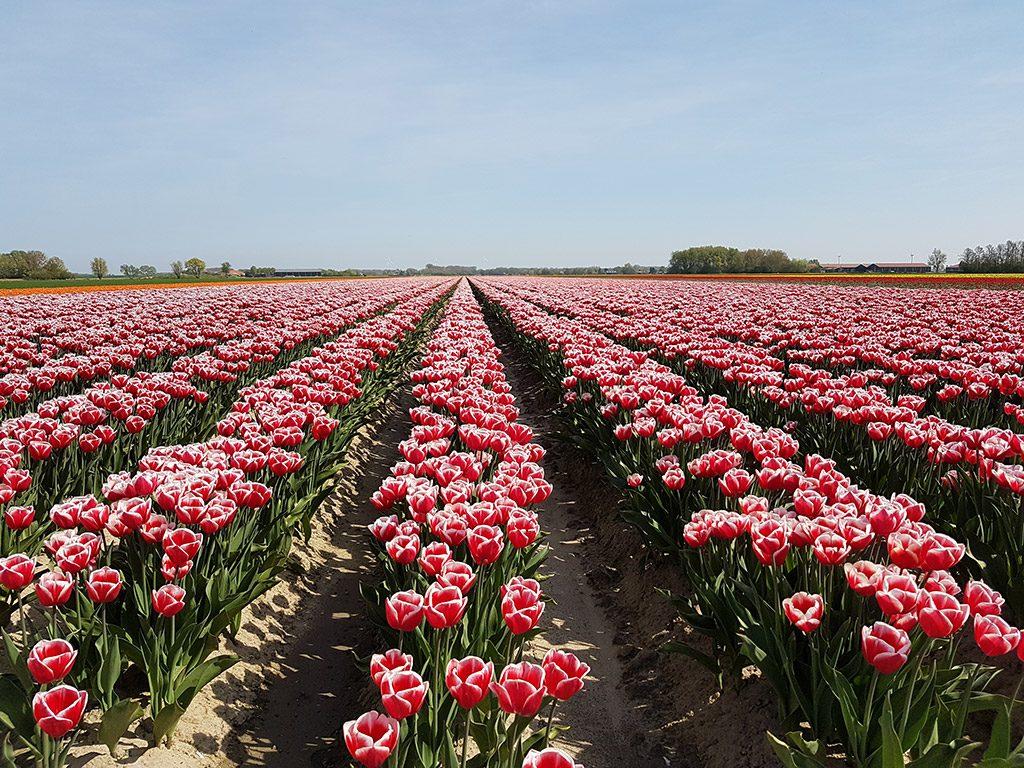 Rood met witte tulpen in Ooltgensplaat op Goeree-Overflakkee